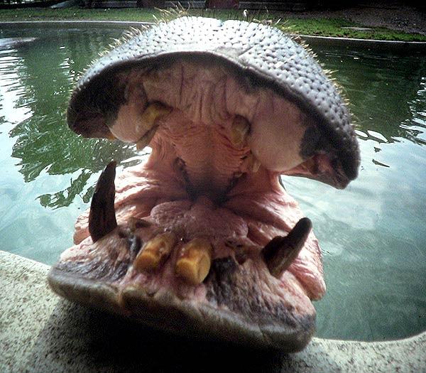 Boca de un hipopótamo