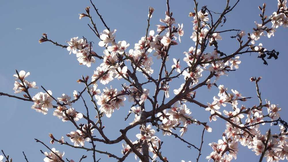Almendro flores