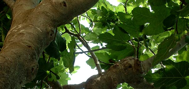Ficus carica - Higuera