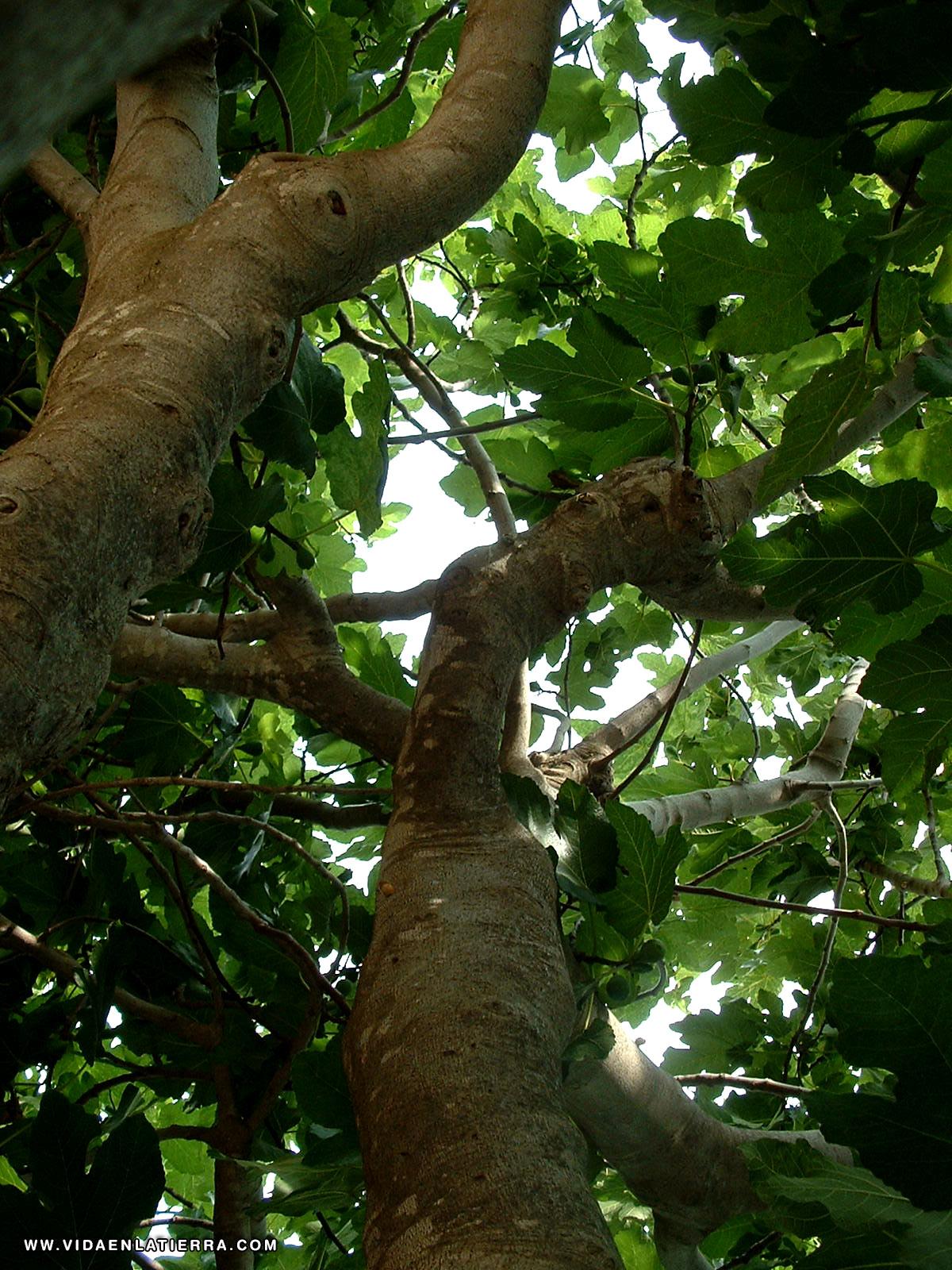 Arbol de higuera related keywords arbol de higuera long - Ramas de arboles ...