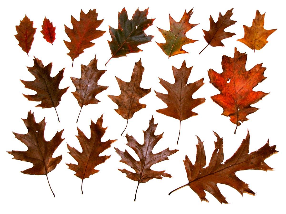 Variedad de hojas de roble.