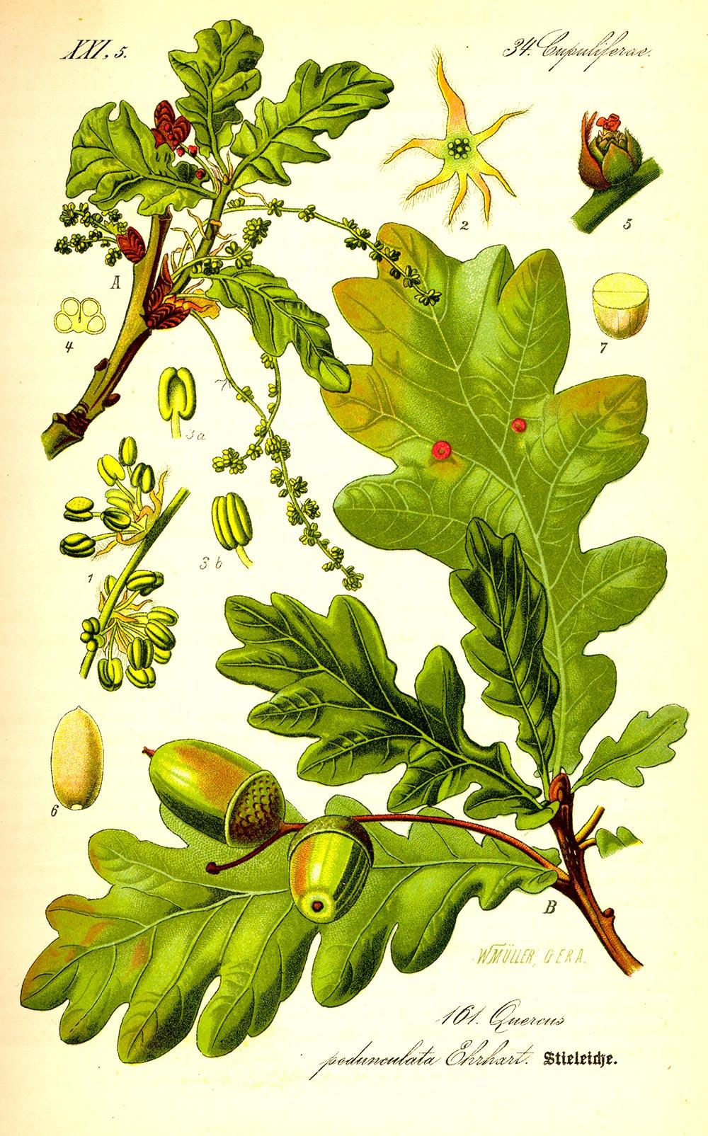 Ilustración con las hojas, flores y bellotas de un Roble
