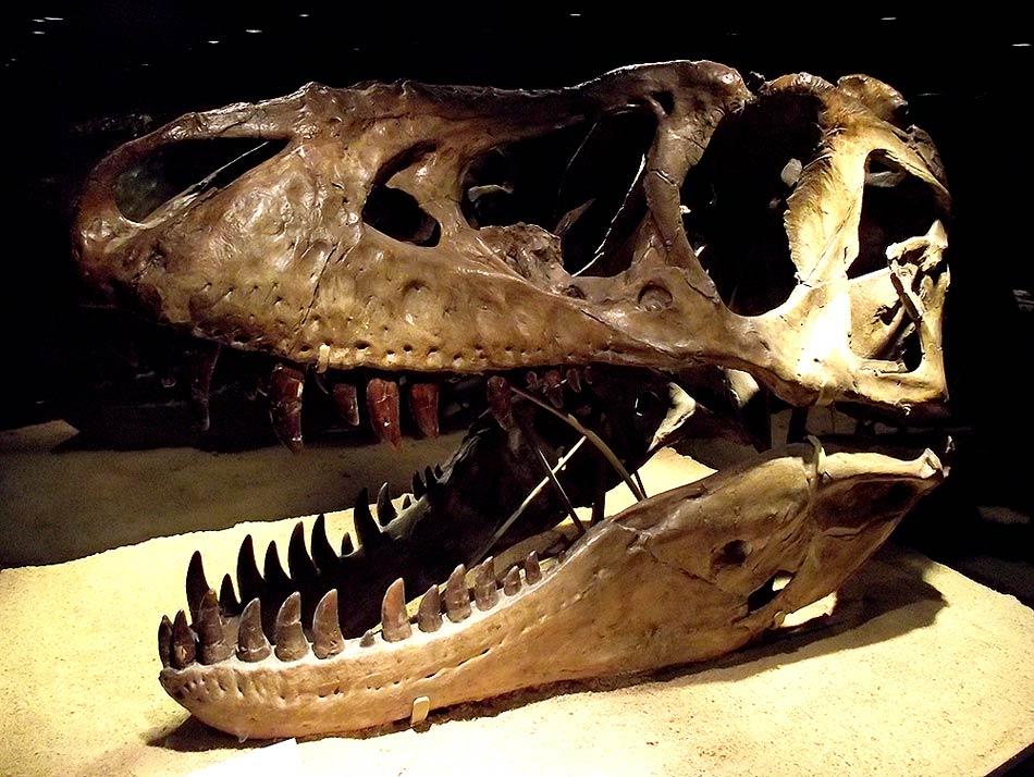 Cabeza y boca de un Tyrannosaurus