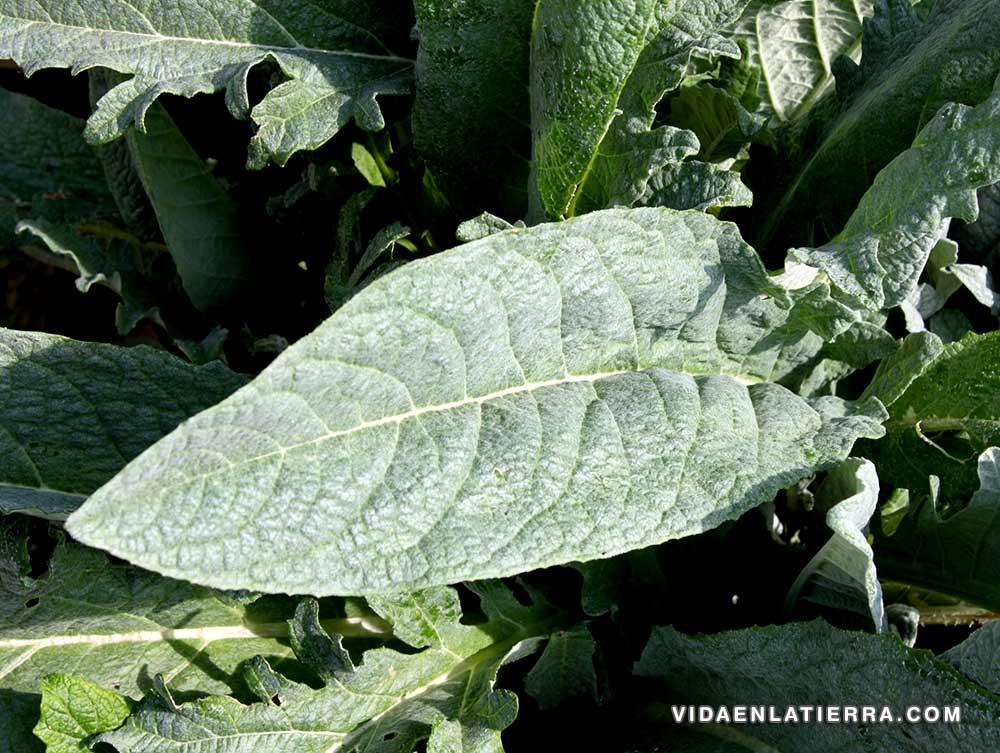 Hoja de una planta Alcachofera.