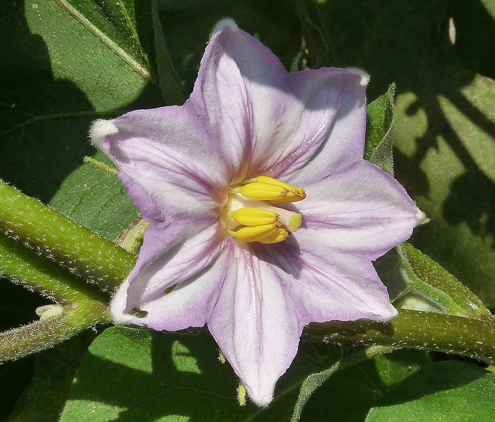 Flores de las Berenjenas