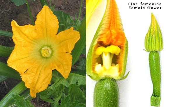 La flor femenina del calabacín