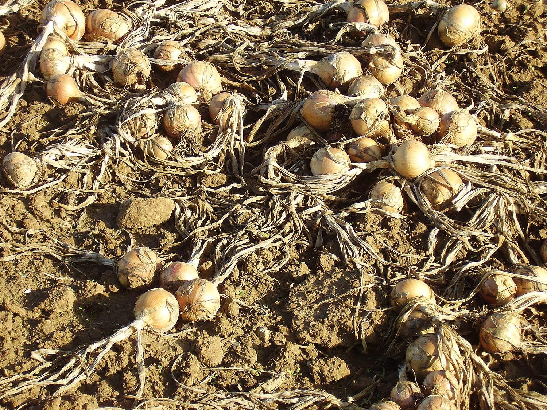 Cebollas recolecta