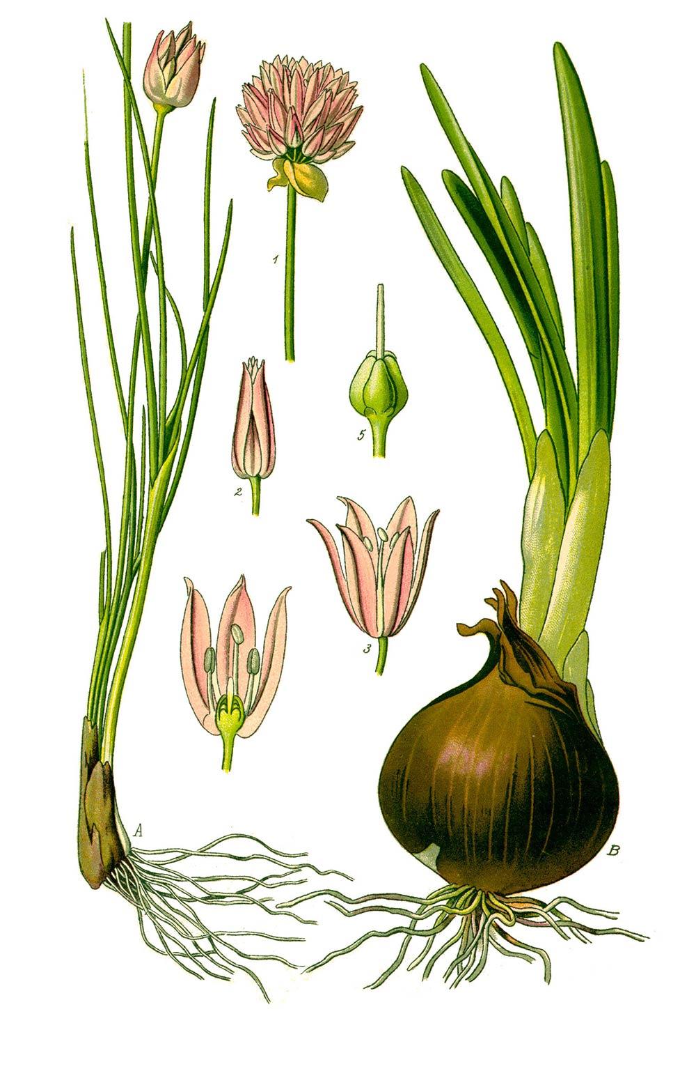 Ilustración de una cebolla Cebollino
