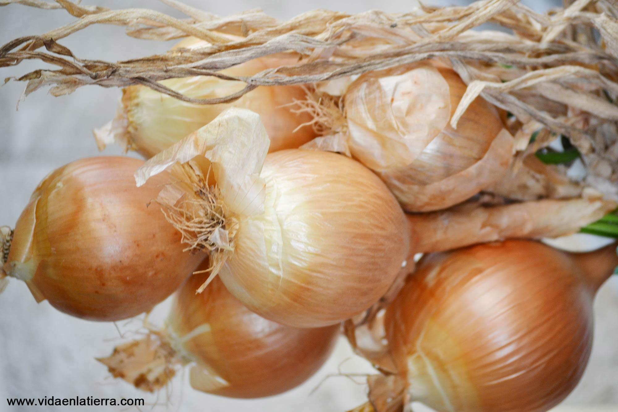 Cebollas en un manojo