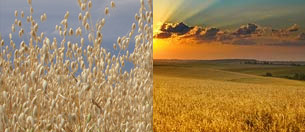 Gramíneas - Cereales