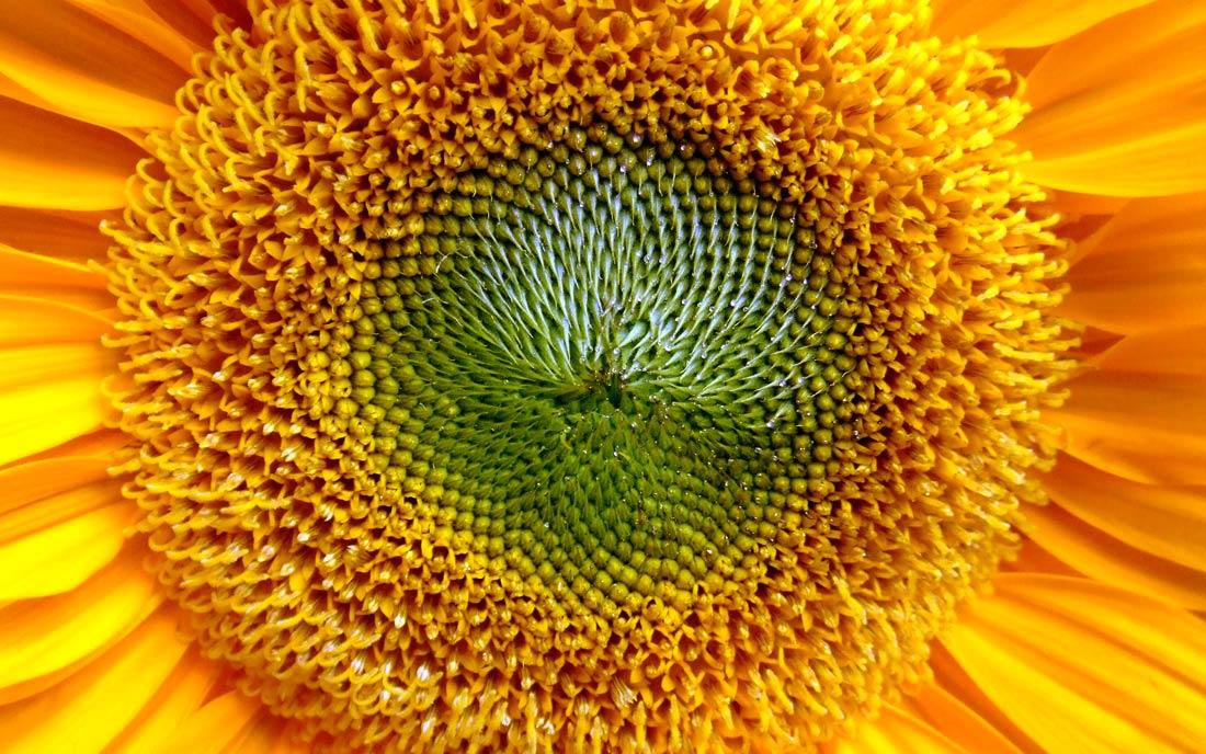 Flor de un girasol - proporción áurea