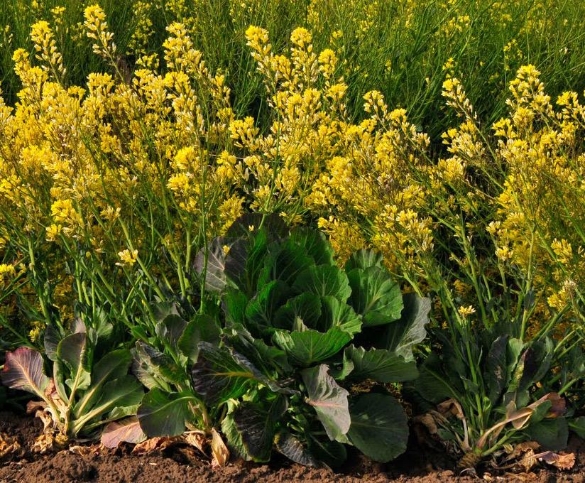 Flores de las coles en el campo.
