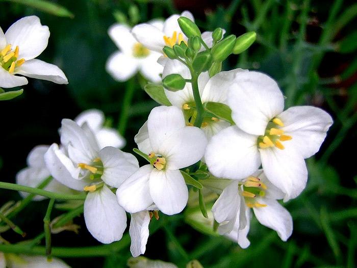 La flor de la Col Repollo