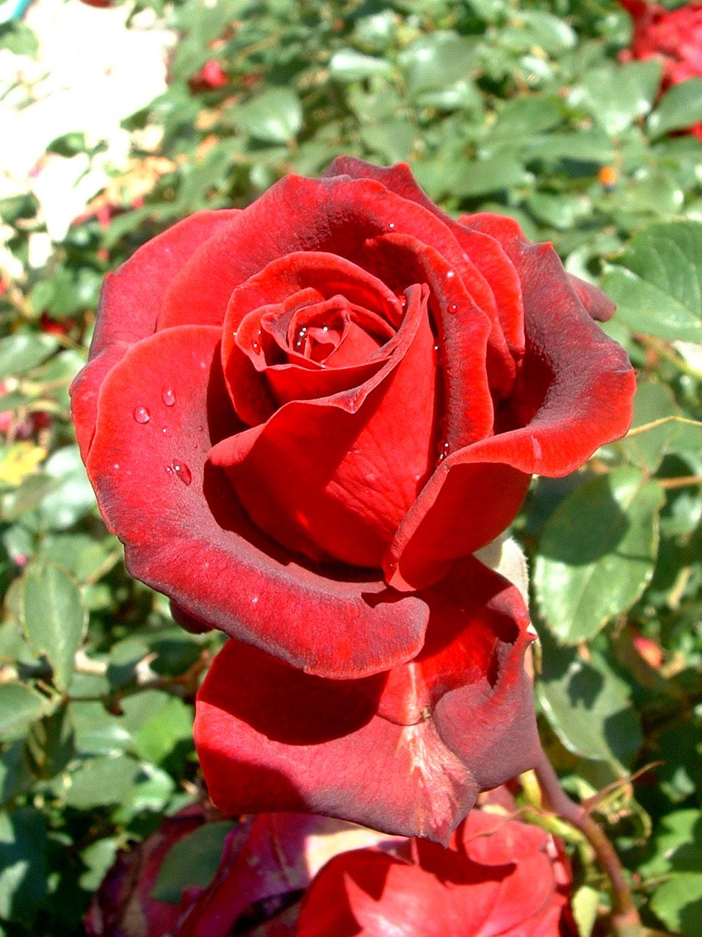 gran rosa roja abierta - Fotos De Rosas Rojas Grandes