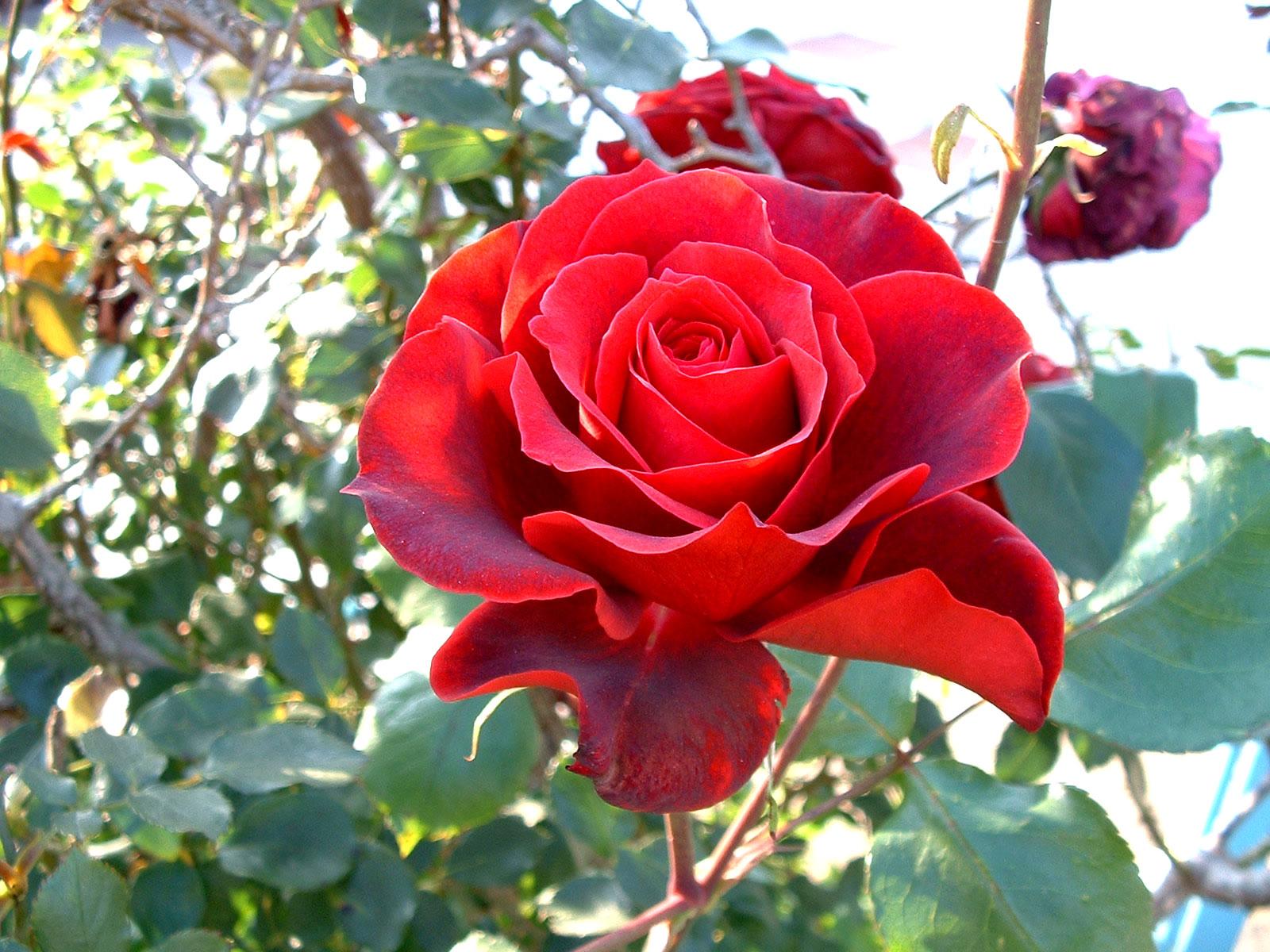 Te regalo una rosa - Página 5 Gran-rosa-roja