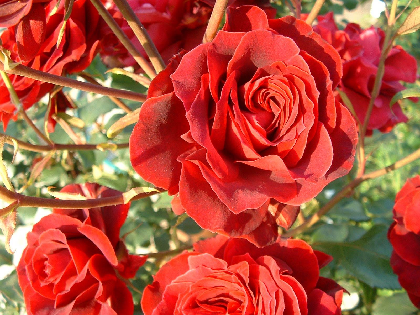 Grandes rosas rojas