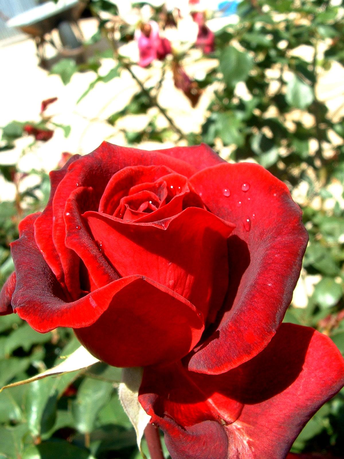 Gran rosa roja vertical