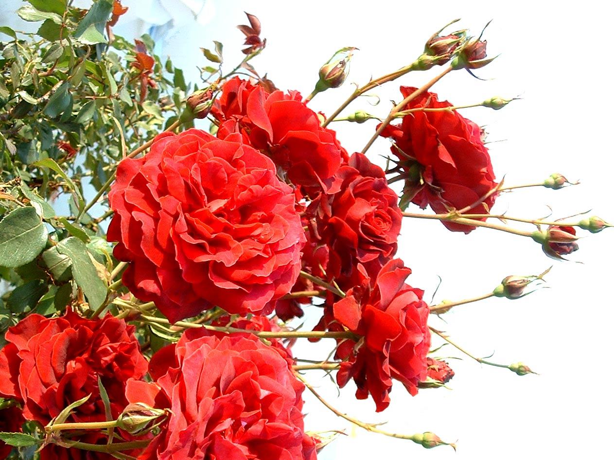 Rosales de rosas rojas