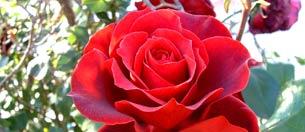 Las rosas rojas, símbolo del amor