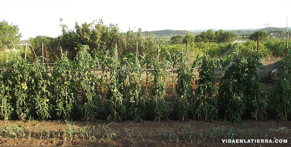 Cultivo ecológico de tomateras