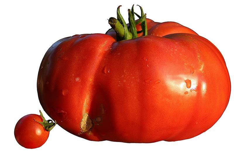 Diferencia de tamaños entre tomates