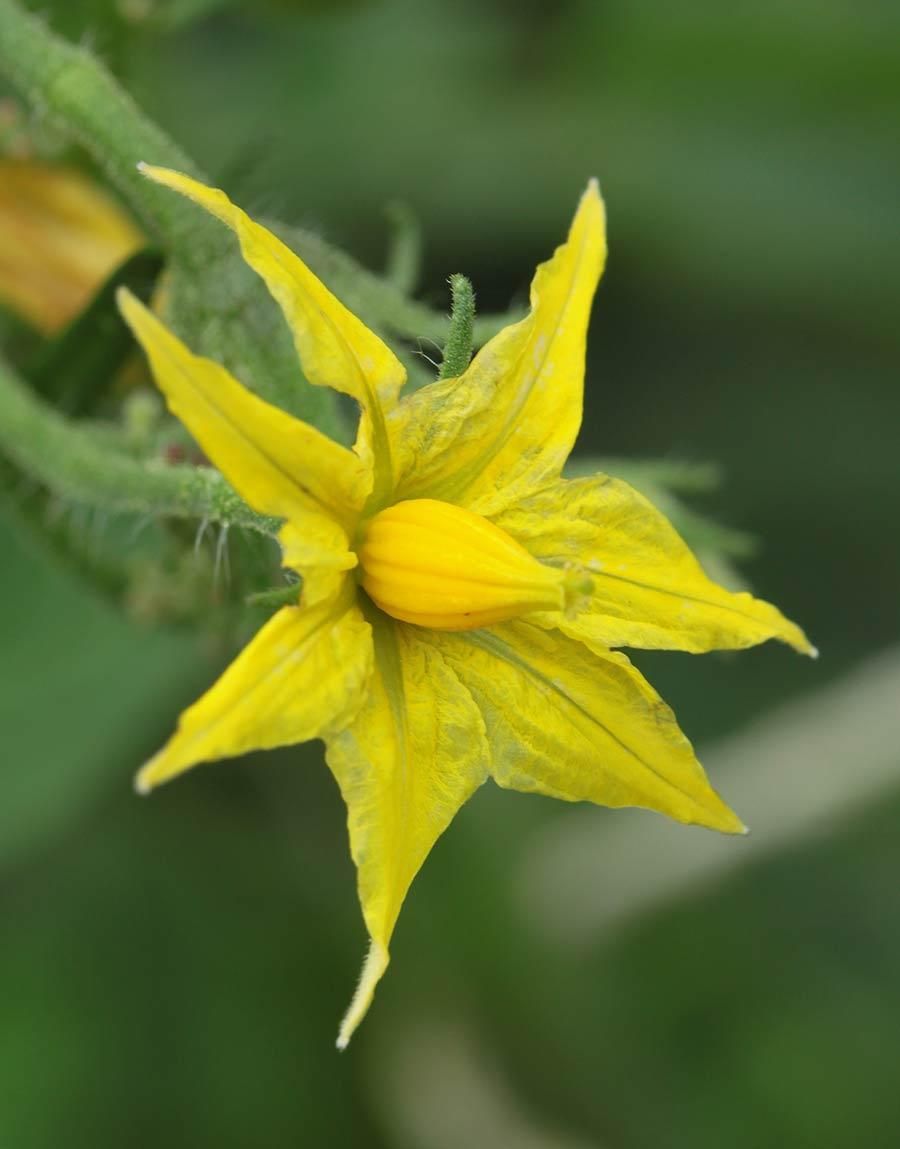 flor de tomatera