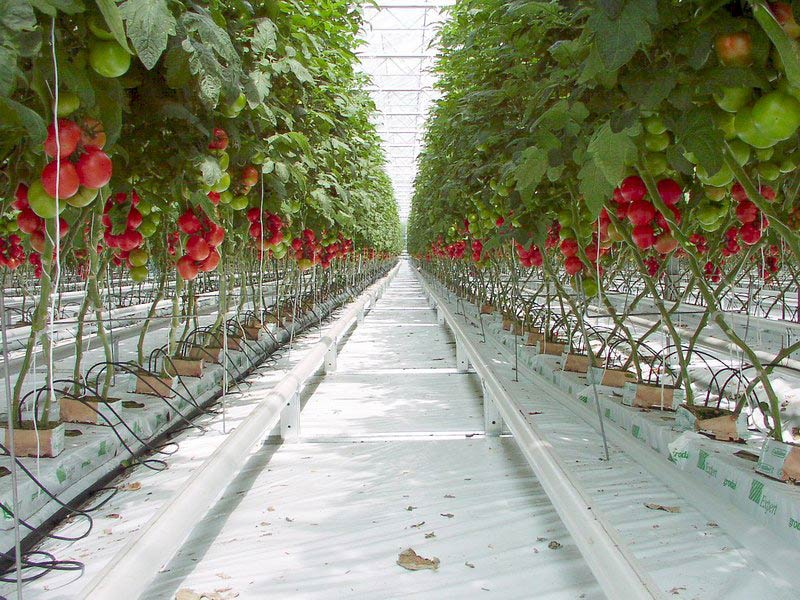 Producción de tomates en invernaderos.