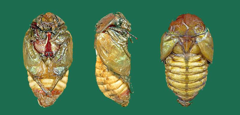 Larvas de escarabajo verde