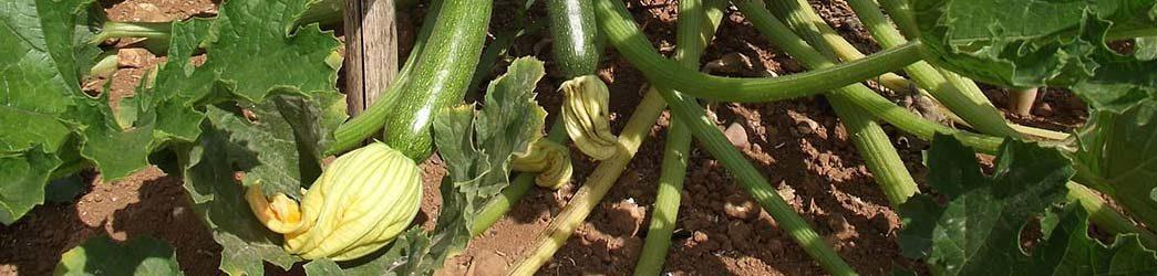 planta calabacin