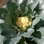 coliflor en la planta