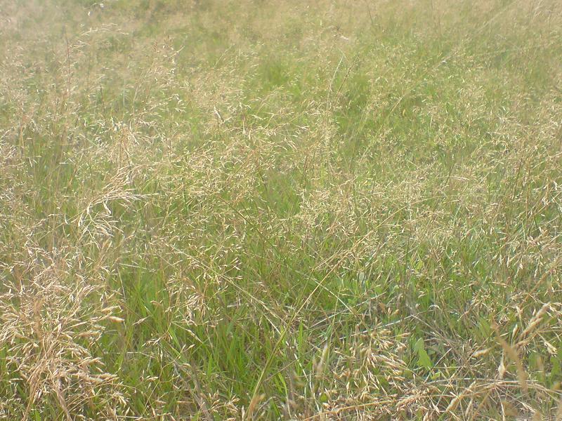 Cañuela (Festuca pratensis)