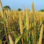campos de mijo