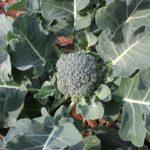 foto brocoli verde en planta