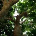 ramas de la higuera