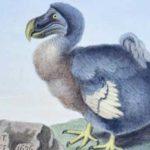 ave dodo