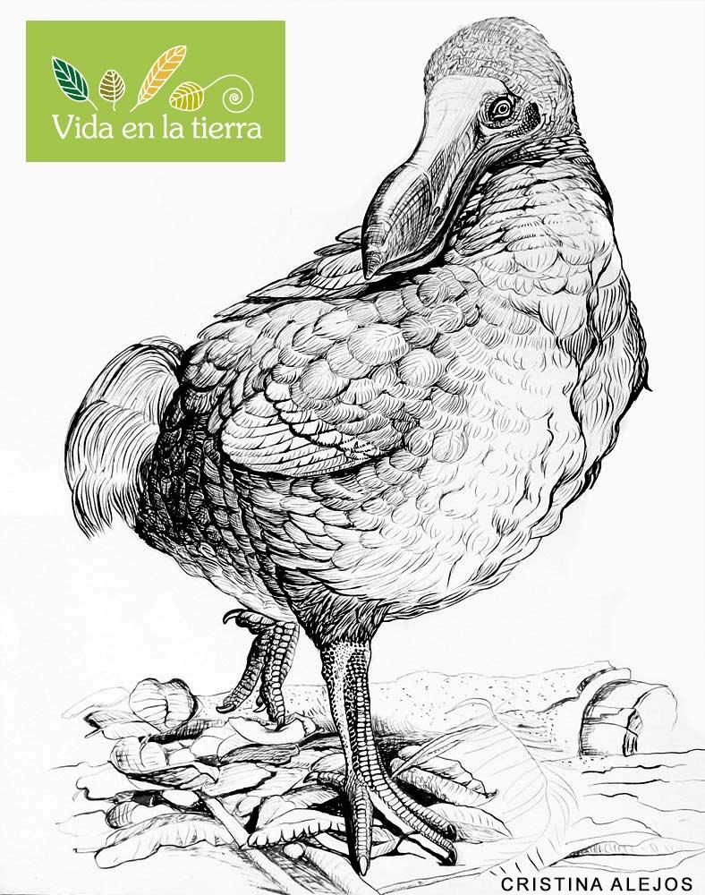 pajaro dodo dibujo tinta china